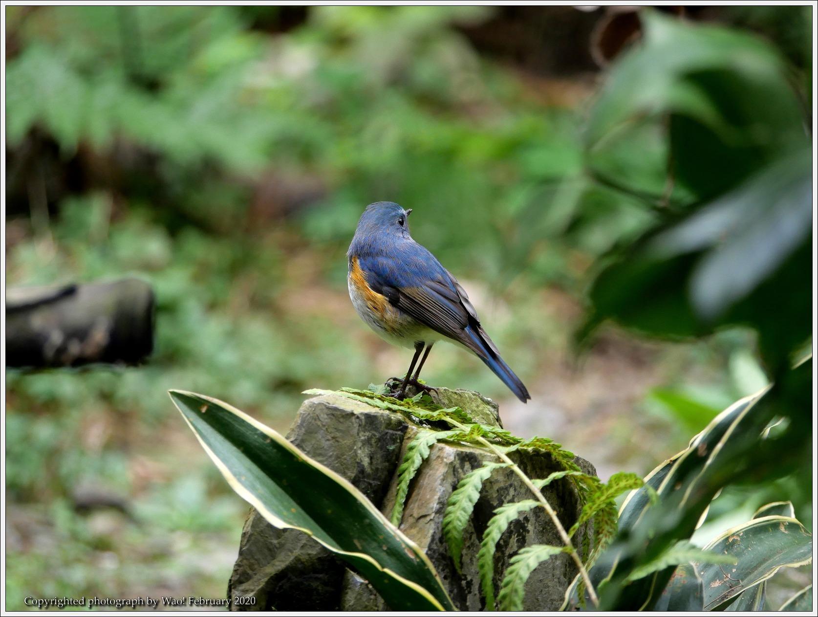 野鳥園のルリ・コマ・キビタキ_c0198669_14143239.jpg