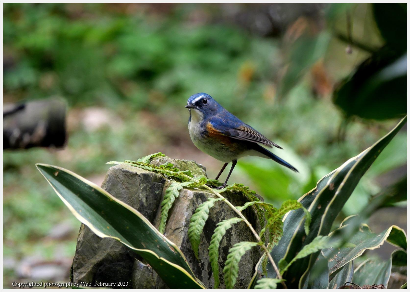 野鳥園のルリ・コマ・キビタキ_c0198669_14143876.jpg