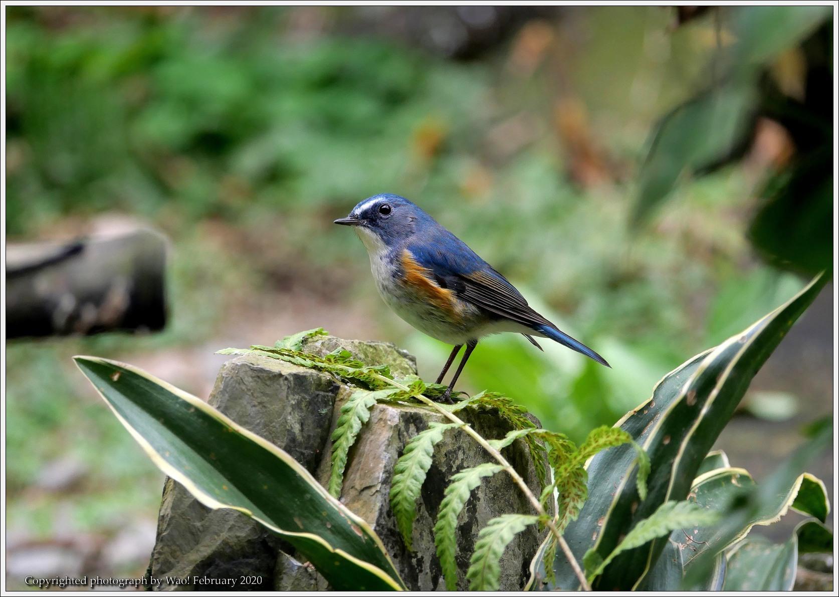野鳥園のルリ・コマ・キビタキ_c0198669_14144504.jpg