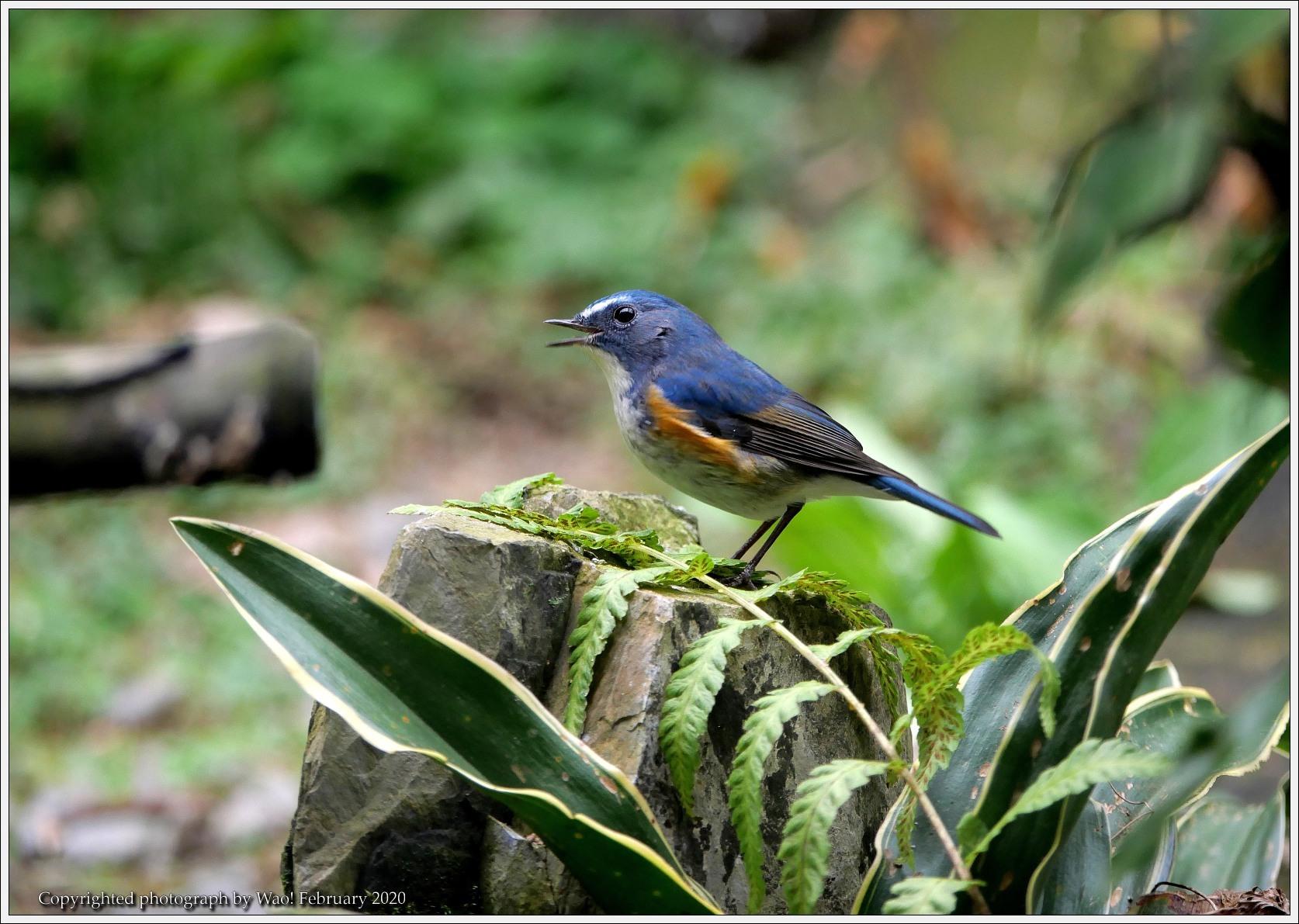 野鳥園のルリ・コマ・キビタキ_c0198669_14145292.jpg