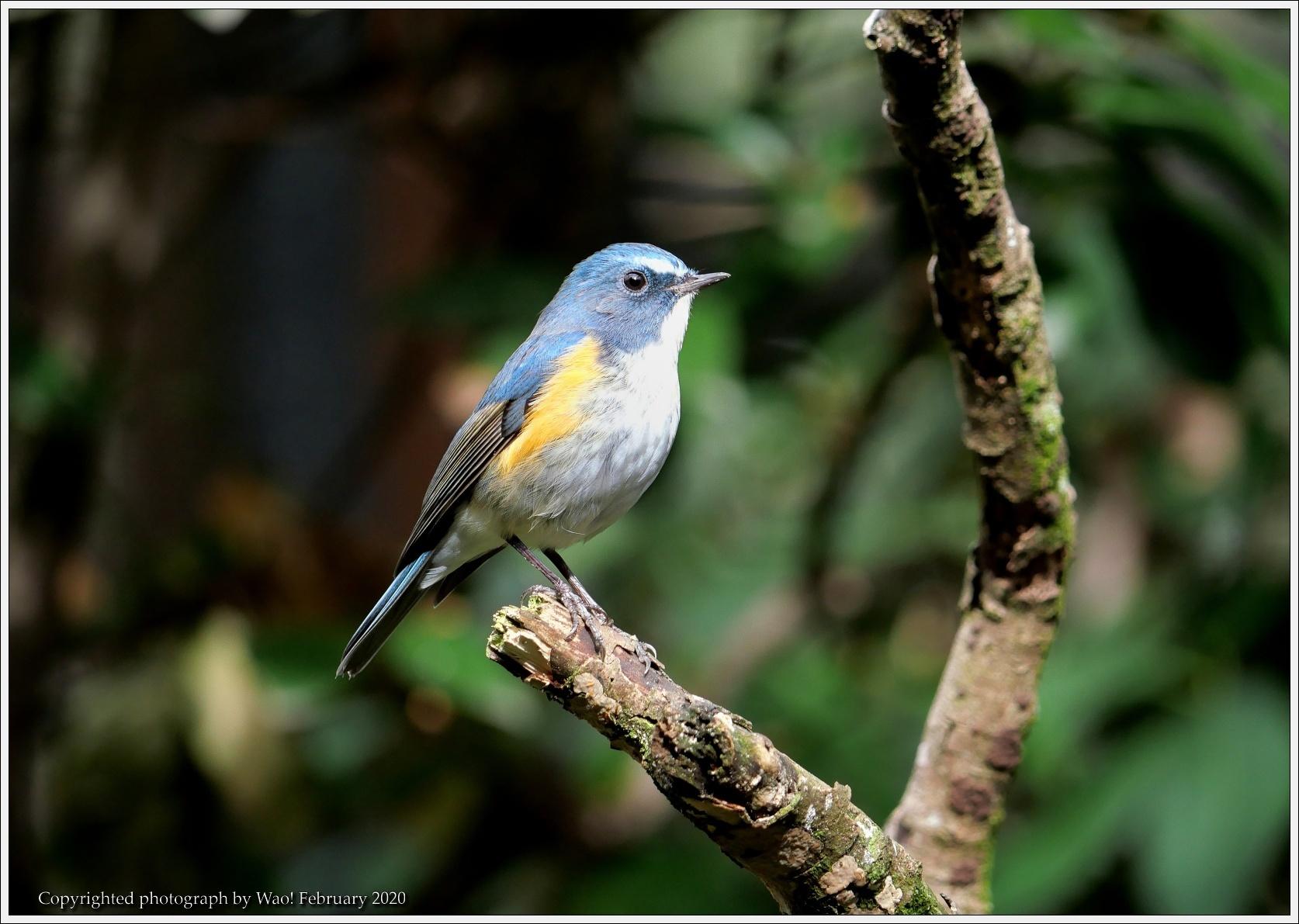野鳥園のルリ・コマ・キビタキ_c0198669_14152749.jpg
