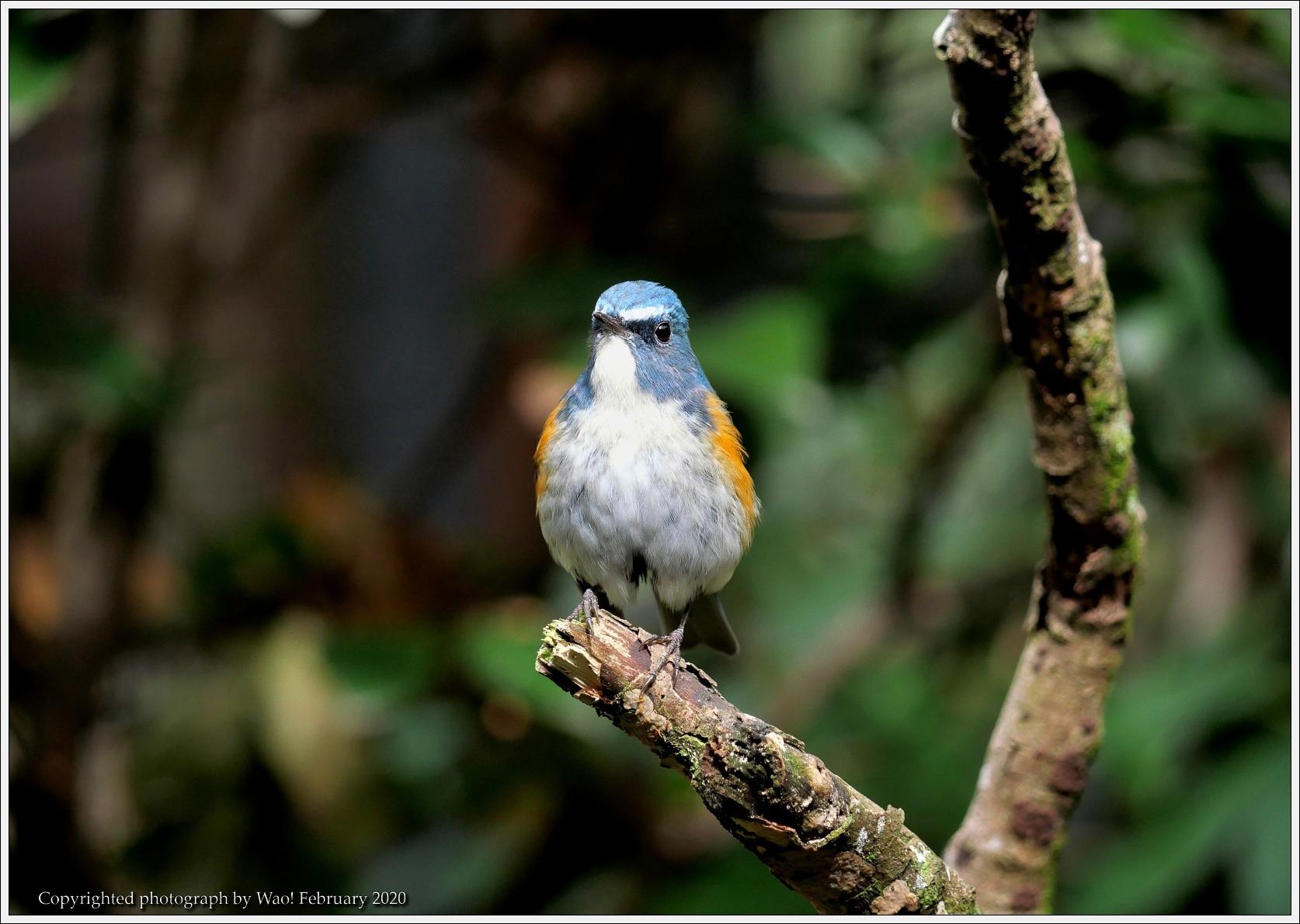 野鳥園のルリ・コマ・キビタキ_c0198669_14153279.jpg