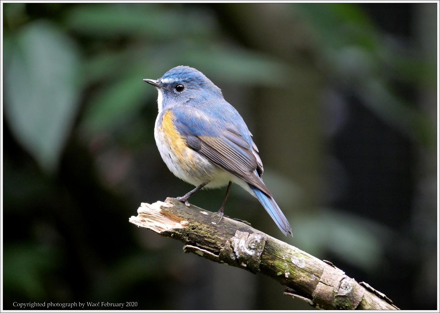 野鳥園のルリ・コマ・キビタキ_c0198669_14153900.jpg
