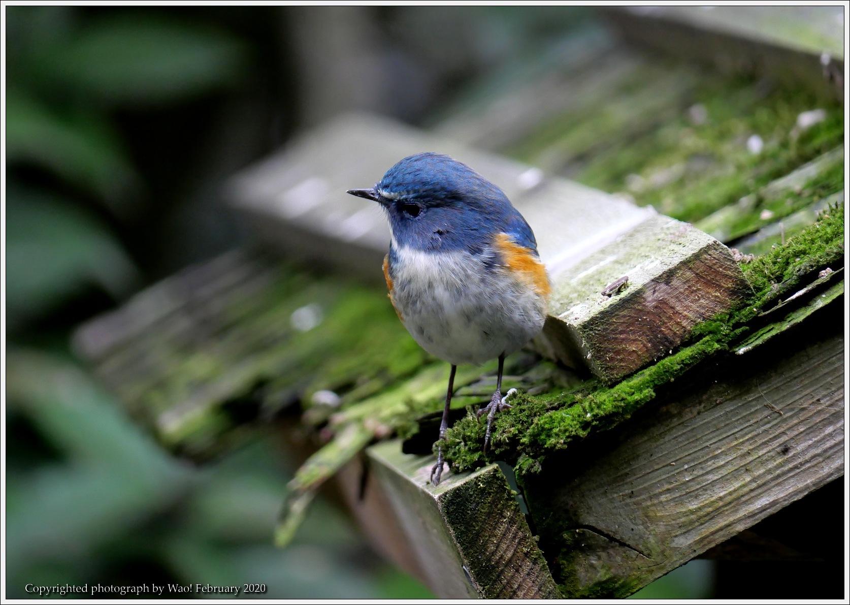 野鳥園のルリ・コマ・キビタキ_c0198669_14160173.jpg