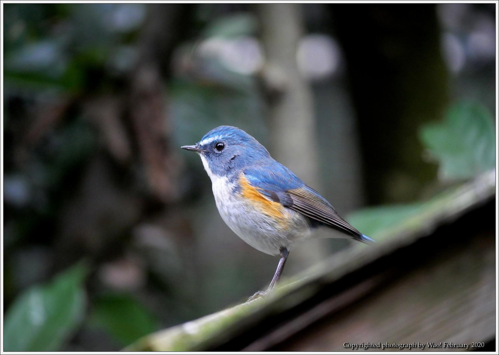 野鳥園のルリ・コマ・キビタキ_c0198669_14161184.jpg