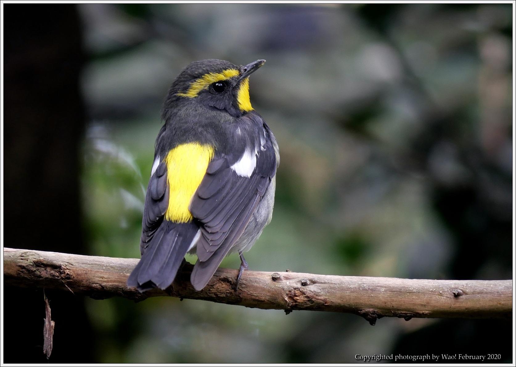 野鳥園のルリ・コマ・キビタキ_c0198669_15522420.jpg