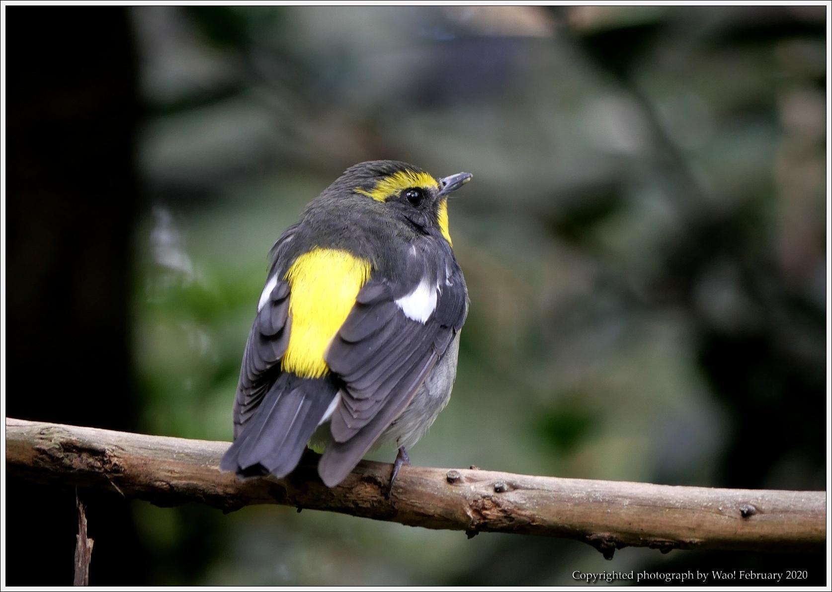 野鳥園のルリ・コマ・キビタキ_c0198669_15523631.jpg
