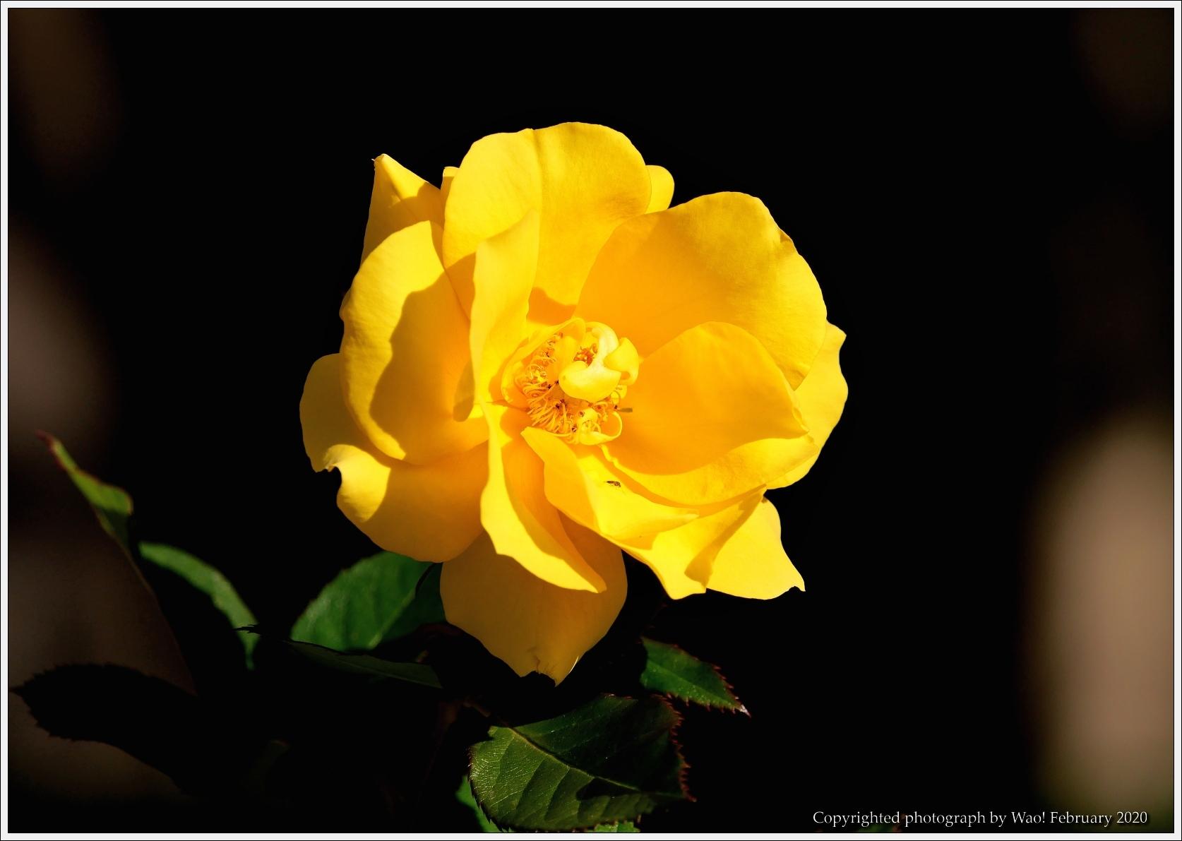 冬のバラと温室の花と蝶_c0198669_16061592.jpg