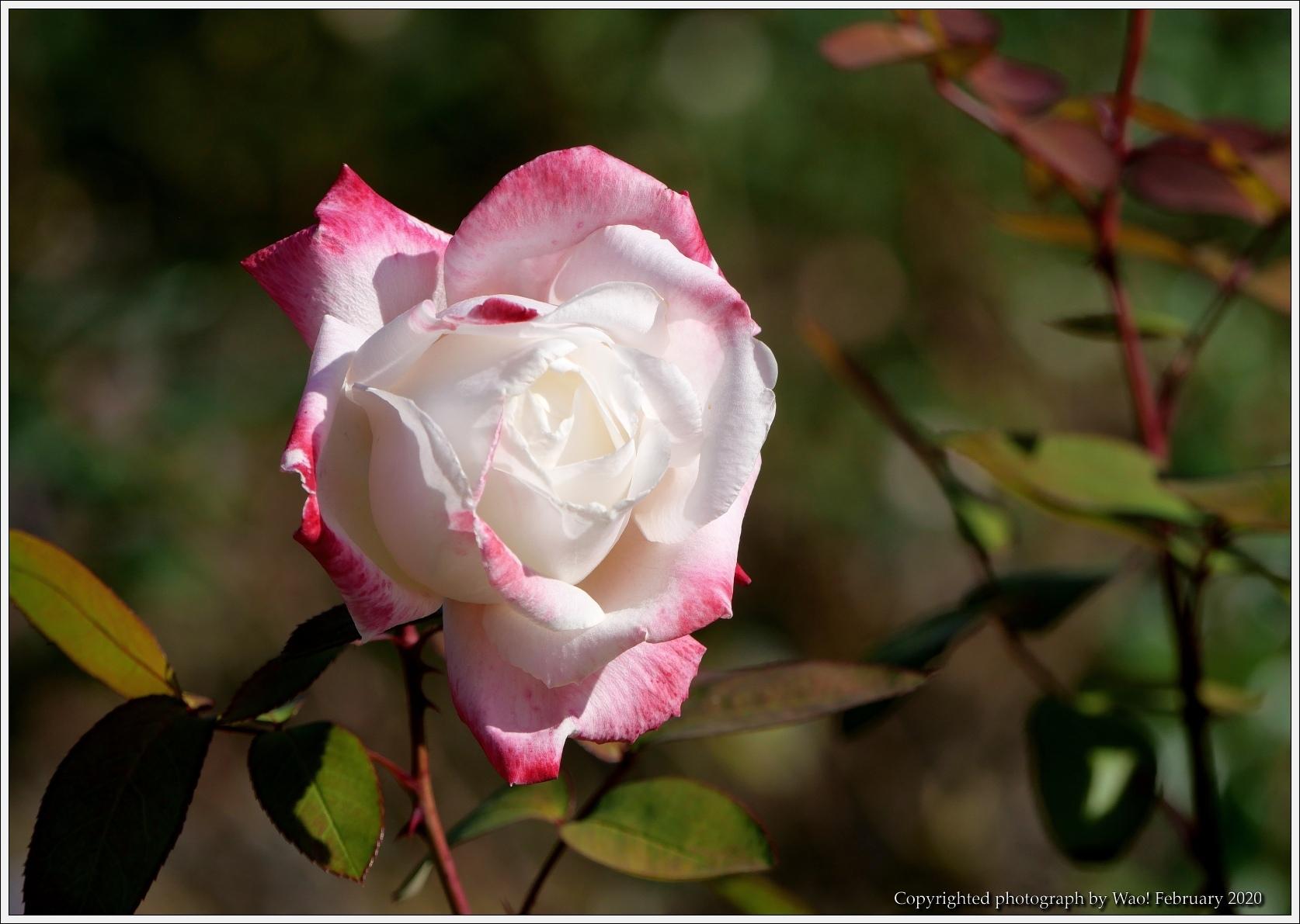 冬のバラと温室の花と蝶_c0198669_16064737.jpg