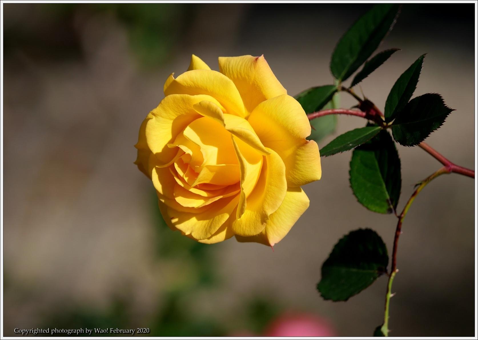 冬のバラと温室の花と蝶_c0198669_16072250.jpg