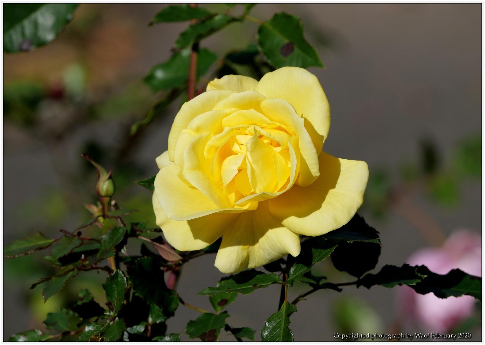 冬のバラと温室の花と蝶_c0198669_16074458.jpg