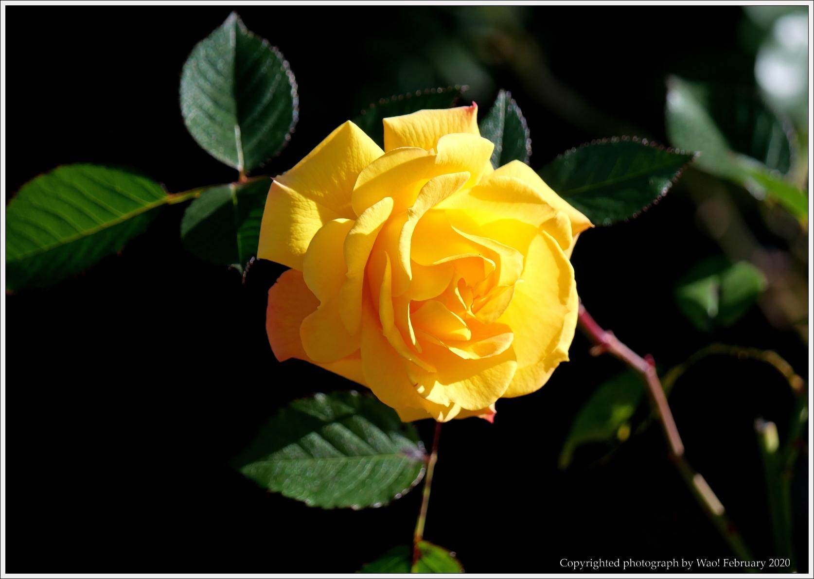 冬のバラと温室の花と蝶_c0198669_16081829.jpg