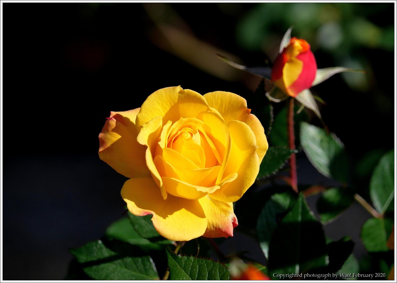 冬のバラと温室の花と蝶_c0198669_16090204.jpg
