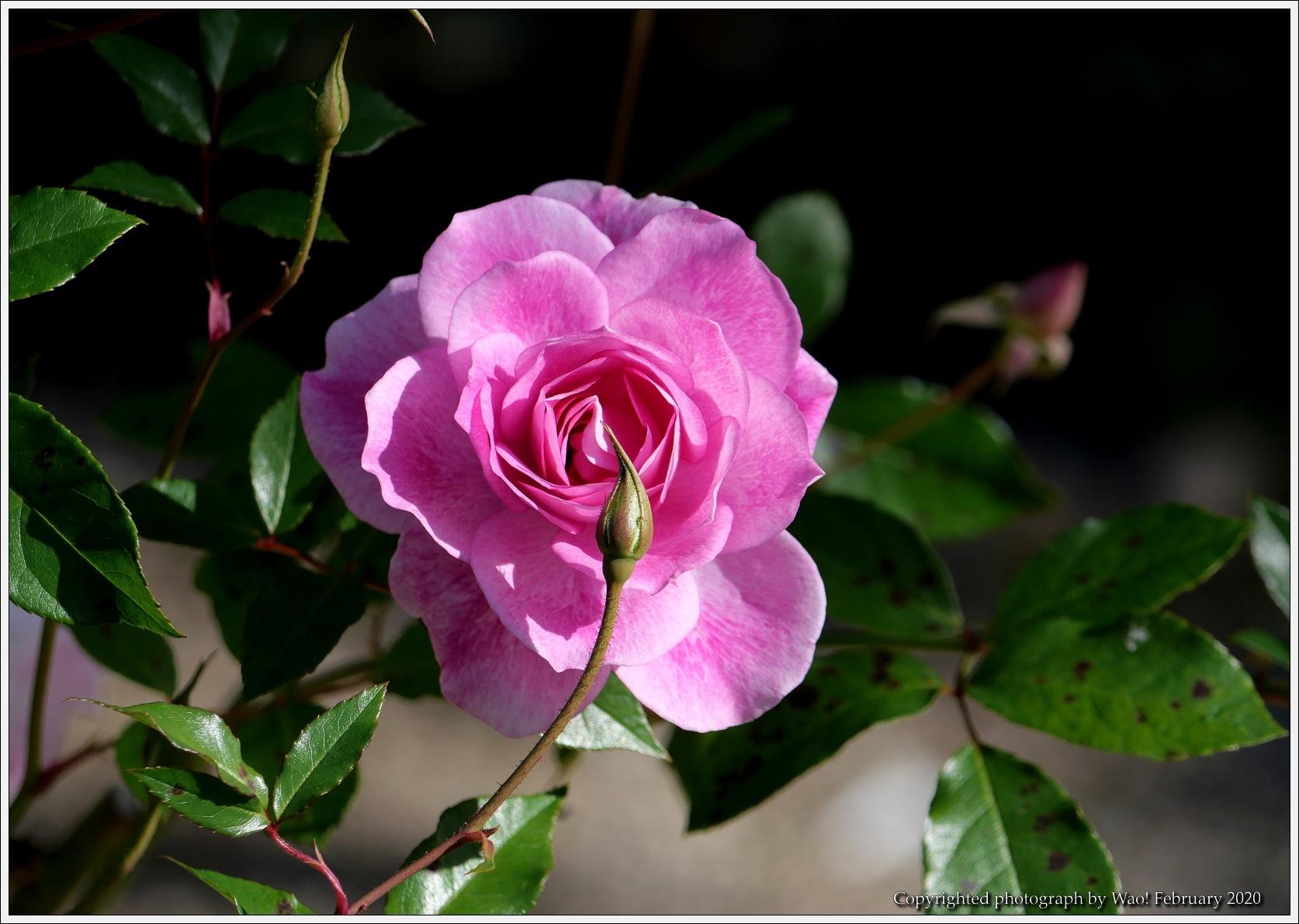 冬のバラと温室の花と蝶_c0198669_16092254.jpg