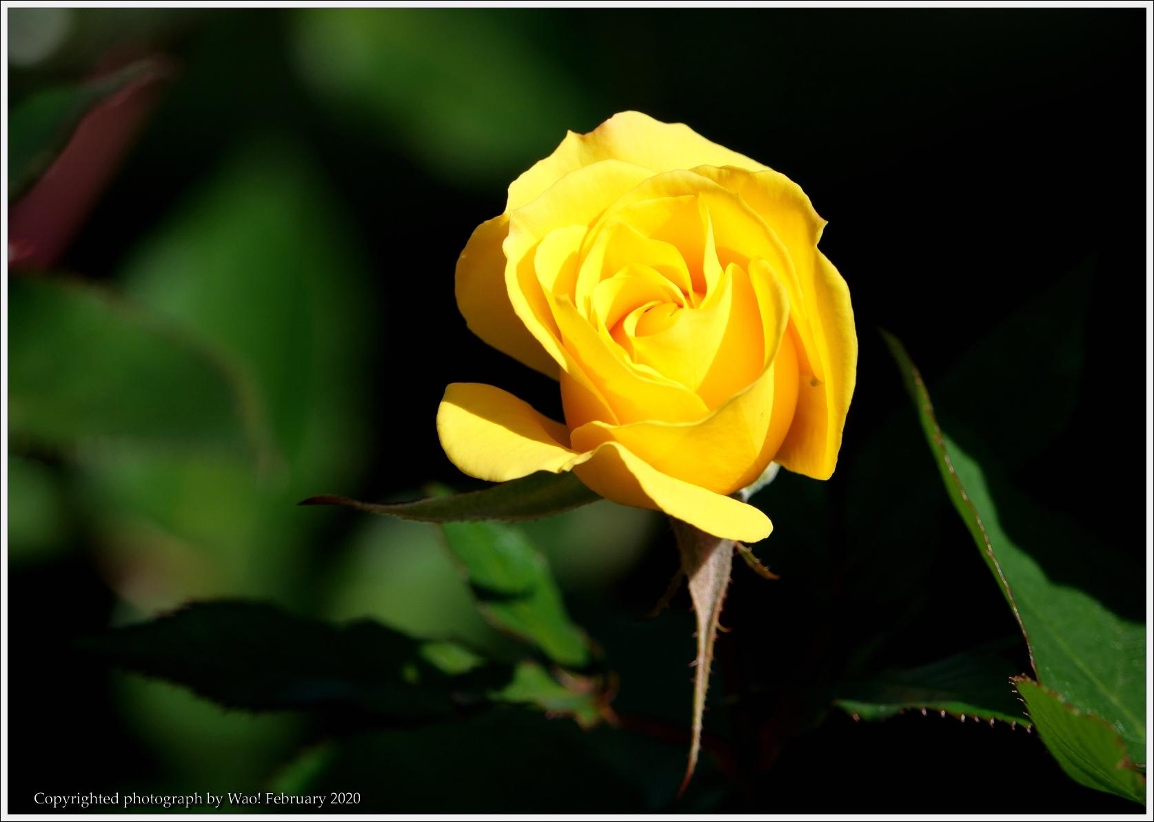 冬のバラと温室の花と蝶_c0198669_16093088.jpg