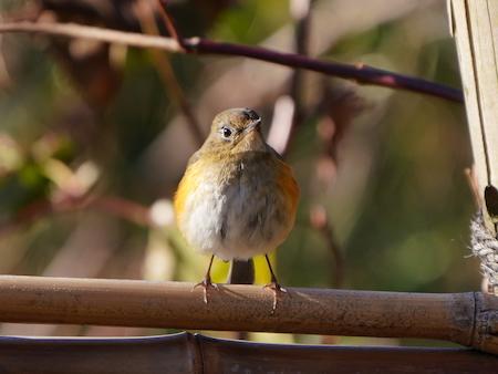 ★先週末の鳥類園(2020.2.8~9)_e0046474_00343327.jpg