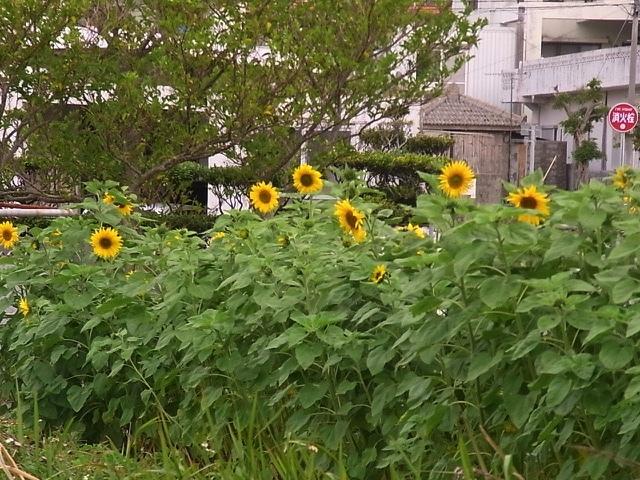 ひまわり咲き始めました。_e0158687_09241252.jpg