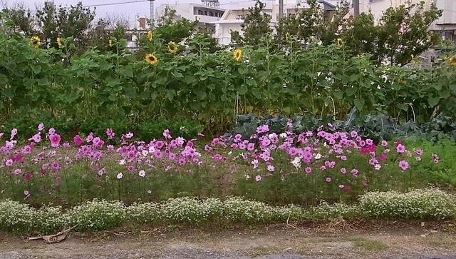 ひまわり咲き始めました。_e0158687_09274255.jpeg