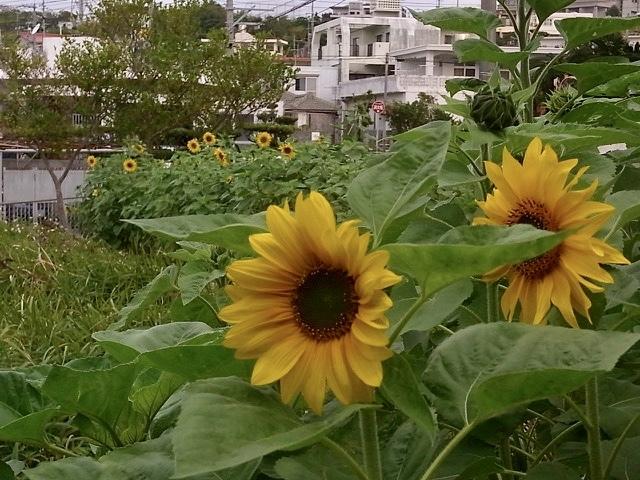 ひまわり咲き始めました。_e0158687_09290342.jpeg