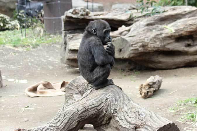 春のゴリラ一家~ありがとうナナさん(上野動物園 March 2019)_b0355317_22045443.jpg
