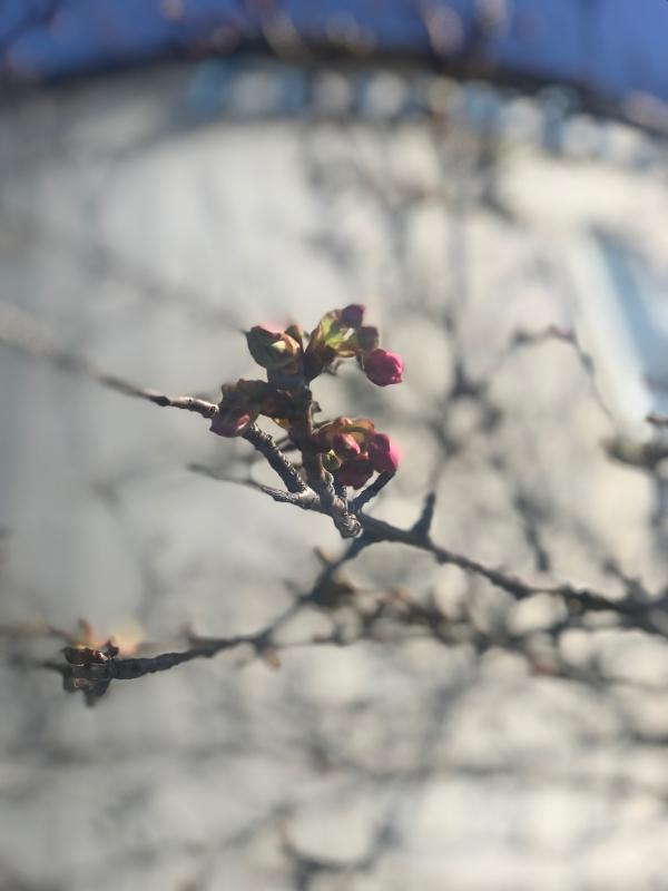 河津桜のつぼみが…_d0016622_19571120.jpg
