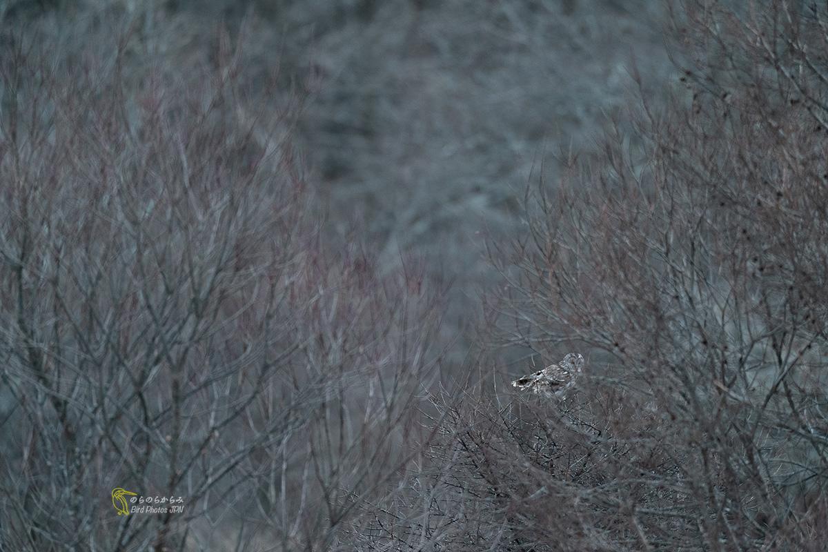 フクロウ:オレンジとブルーの森_d0360547_06594606.jpg