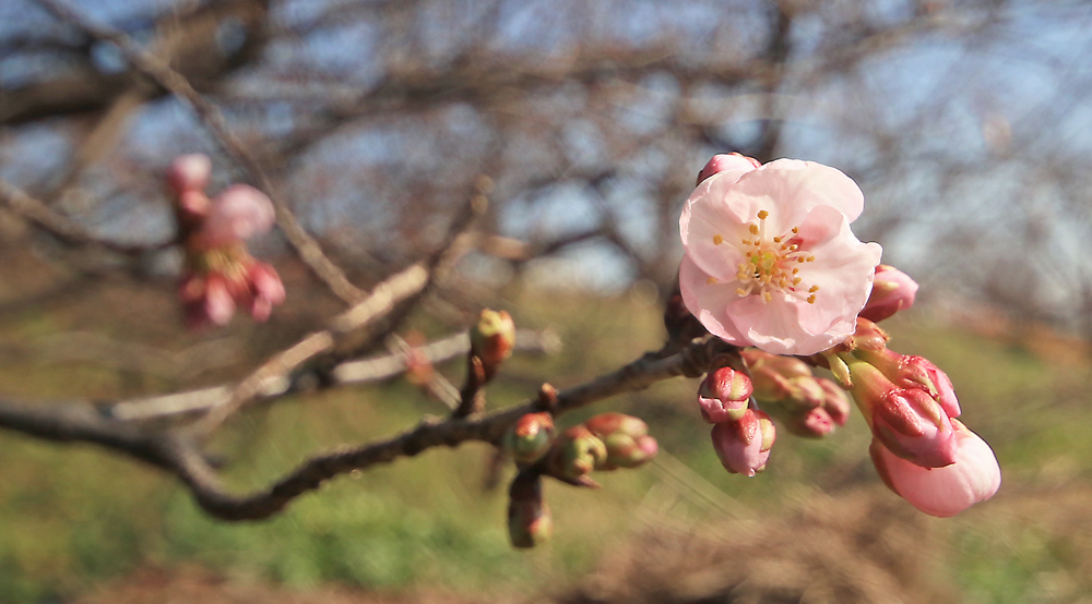 Cherry tree_a0153871_20023036.jpg