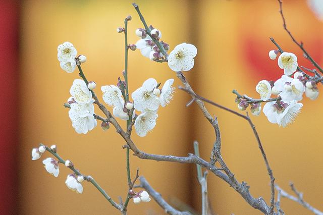 鎌倉・宝戒寺の梅_b0145398_23445160.jpg