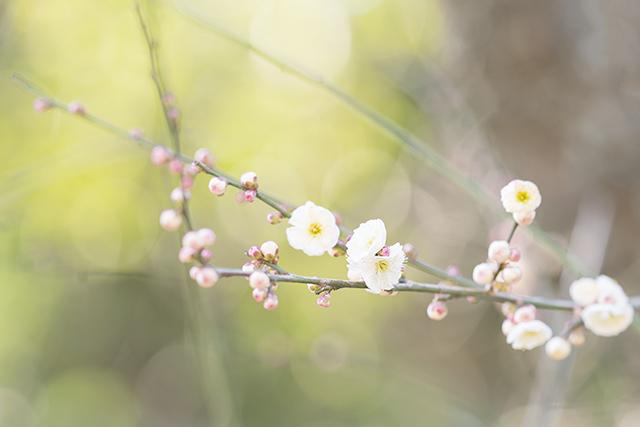 鎌倉・宝戒寺の梅_b0145398_23460508.jpg