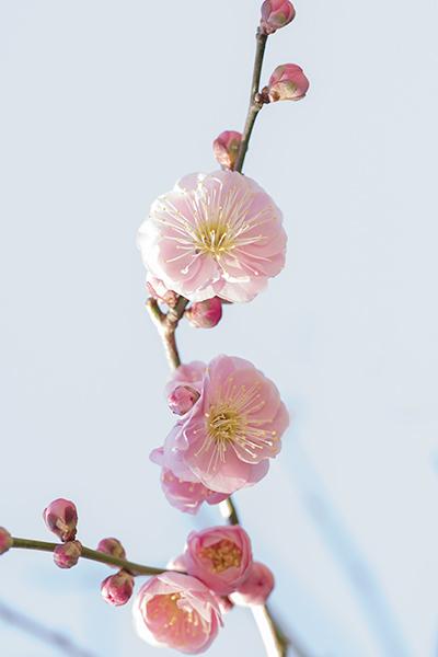 鎌倉・宝戒寺の梅_b0145398_23464001.jpg
