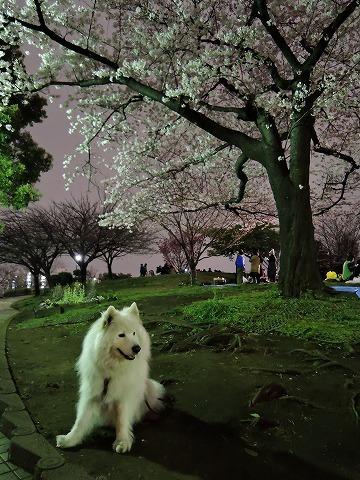 夜桜_c0062832_13440654.jpg