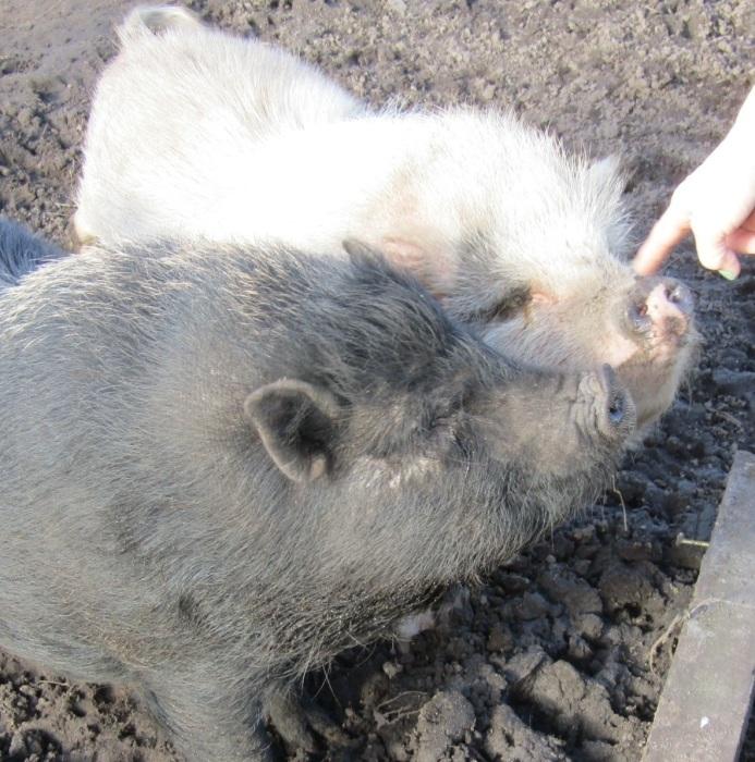 近所の仔/小さな豚たち_b0287748_03403129.jpg