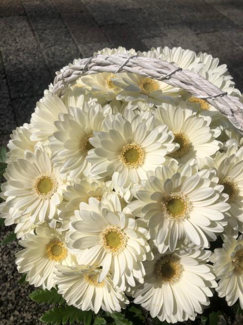 白いガーベラの贈り物。_b0368251_19070429.jpg