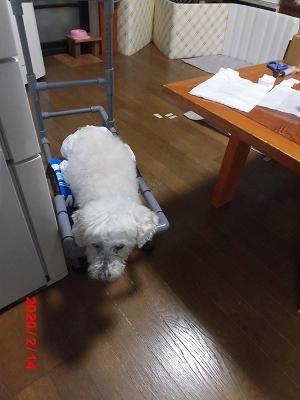 獅子丸の車椅子稼働中_b0231886_20514954.jpg