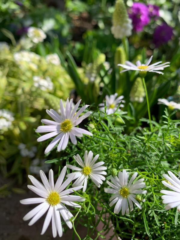 ルピナスが市場に出回る季節がやってきました。_d0090298_16364277.jpg