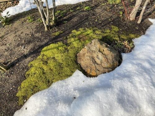 庭のコケと雪_e0054299_11171658.jpg