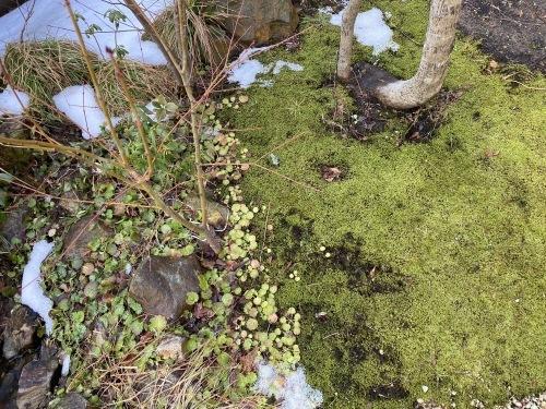 庭のコケと雪_e0054299_11183042.jpg