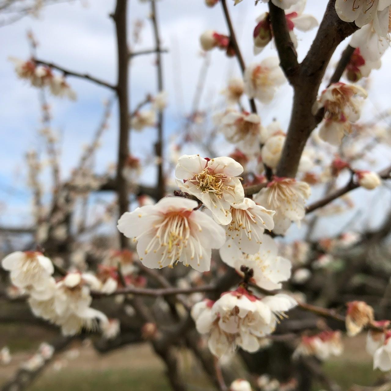 梅の花_e0245805_14455244.jpeg