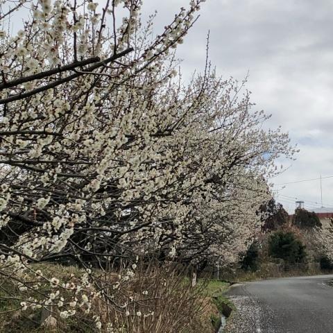 梅の花_e0245805_14523655.jpeg
