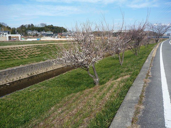2020年2月17日 ウォーキングロードの梅の花  !(^^)!_b0341140_18284235.jpg