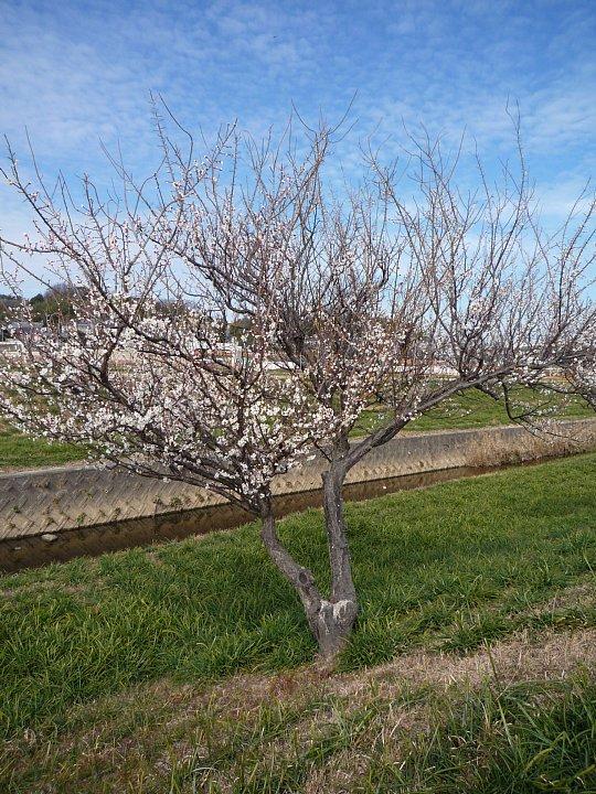 2020年2月17日 ウォーキングロードの梅の花  !(^^)!_b0341140_18285756.jpg