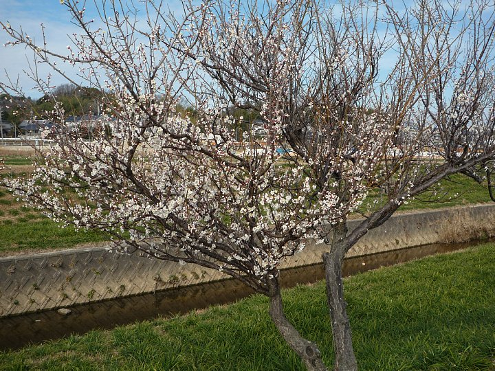 2020年2月17日 ウォーキングロードの梅の花  !(^^)!_b0341140_18292366.jpg