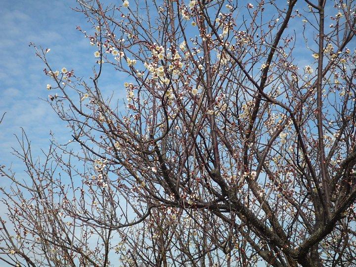 2020年2月17日 ウォーキングロードの梅の花  !(^^)!_b0341140_18293744.jpg