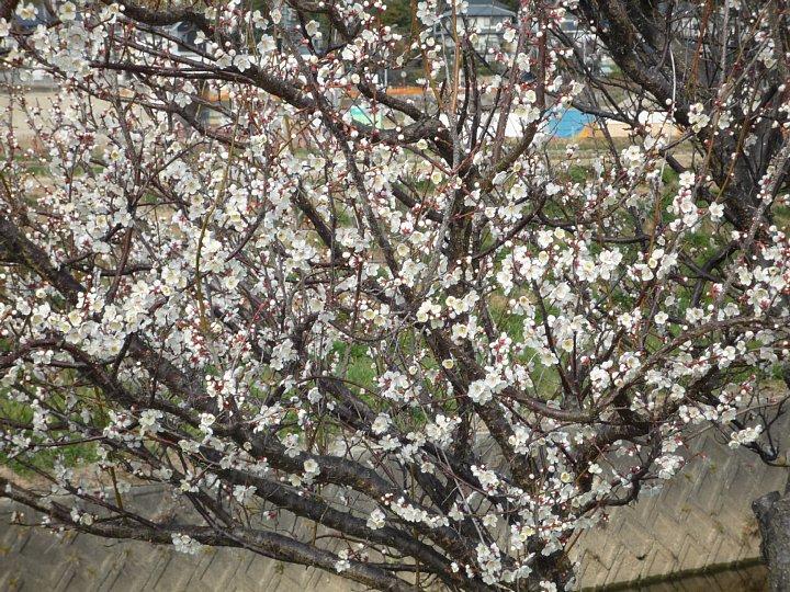 2020年2月17日 ウォーキングロードの梅の花  !(^^)!_b0341140_18294978.jpg