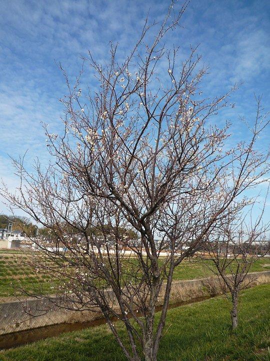 2020年2月17日 ウォーキングロードの梅の花  !(^^)!_b0341140_1829966.jpg