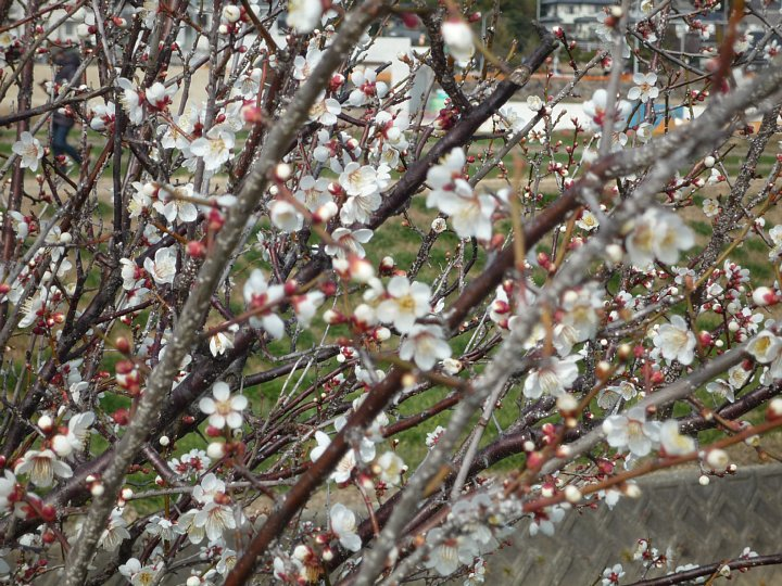 2020年2月17日 ウォーキングロードの梅の花  !(^^)!_b0341140_18301415.jpg