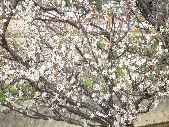 2020年2月17日 ウォーキングロードの梅の花  !(^^)!_b0341140_1830381.jpg