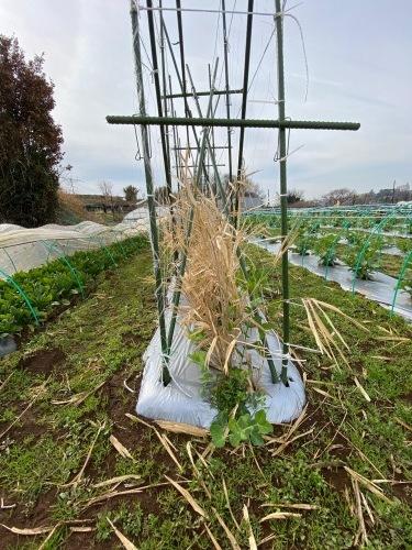 全ての野菜育ち 春気温の中 トンネルを持ち上げ換気しています_c0222448_11420956.jpg