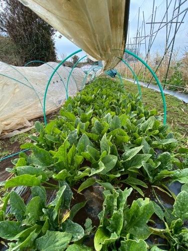 全ての野菜育ち 春気温の中 トンネルを持ち上げ換気しています_c0222448_11421903.jpg