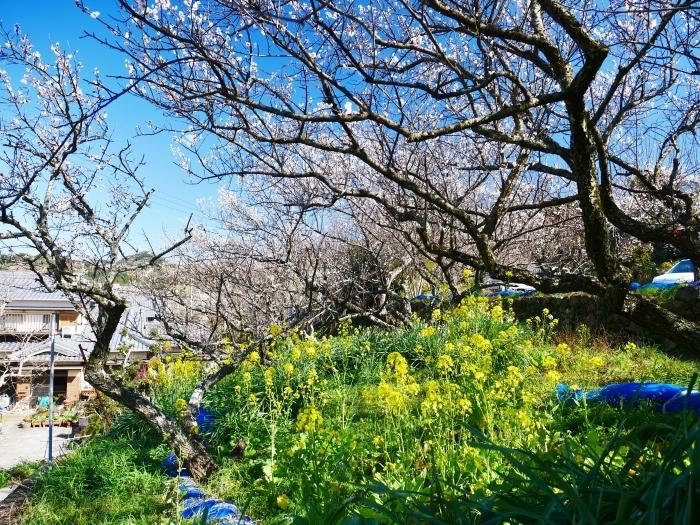 和歌山・みなべの梅林 1  2020-02-17 00:00_b0093754_22514491.jpg
